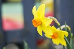 O narciso amarelo floresce cores pastel Fotos de Stock