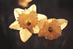 O narciso amarelo floresce o duo Foto de Stock Royalty Free