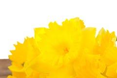 O narciso amarelo fresco floresce a beira Fotos de Stock