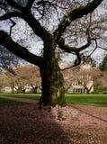 O nascer do sol destaca a árvore de cereja velha um campus universitário Fotos de Stock