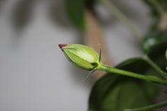 O nascimento da flor vermelha Imagens de Stock Royalty Free
