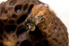 O nascimento de qween a abelha imagem de stock royalty free