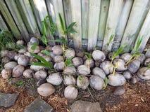 O nascimento de uma palmeira Fotografia de Stock