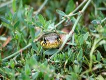 O natrix do Natrix do planador Fotografia de Stock