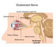 O nervo Oculomotor Fotografia de Stock
