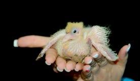 O nestling de uma pomba fotografia de stock
