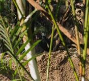 O nicobarica de Caloenas do pombo de Nicobar está olhando algum fino fotografia de stock royalty free
