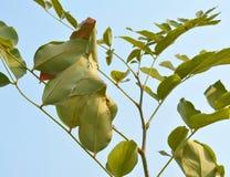 O ninho da formiga nas folhas da árvore de chuveiro dourado Fotos de Stock