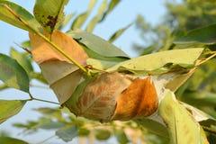 O ninho da formiga nas folhas da árvore de chuveiro dourado Fotos de Stock Royalty Free