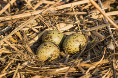 O ninho do pássaro no habitat natural Imagem de Stock