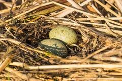 O ninho do pássaro no habitat natural Fotos de Stock