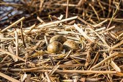 O ninho do pássaro no habitat natural Imagens de Stock Royalty Free