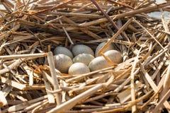 O ninho do pássaro no habitat natural Imagens de Stock