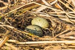 O ninho do pássaro no habitat natural Foto de Stock Royalty Free