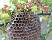 O ninho do zangão Foto de Stock Royalty Free