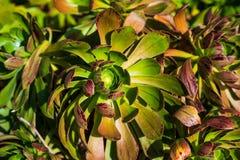 O nome científico desta planta é hierrense do Aeonium foto de stock royalty free
