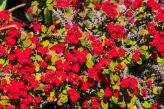 o nome científico desta planta é milii do eufórbio fotografia de stock