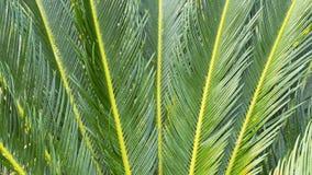 O nome científico do Cycad é os circinalis L do Cycas Cycadaceae das famílias fotografia de stock