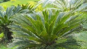 O nome científico do Cycad é os circinalis L do Cycas Cycadaceae das famílias imagens de stock