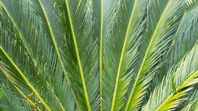 O nome científico do Cycad é os circinalis L do Cycas Cycadaceae das famílias imagens de stock royalty free