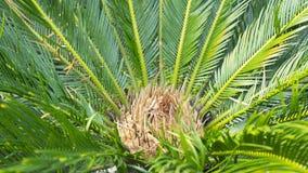 O nome científico do Cycad é os circinalis L do Cycas Cycadaceae das famílias fotografia de stock royalty free