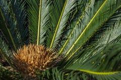 O nome científico do Cycad é os circinalis L do Cycas Cycadaceae das famílias Fim do Cycas acima com o lyzard no coração da palma fotos de stock royalty free