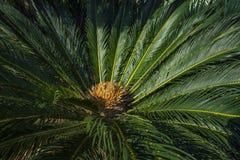 O nome científico do Cycad é os circinalis L do Cycas Cycadaceae das famílias Fim do Cycas acima com o lyzard no coração da palma fotos de stock