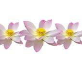 O nuphar cor-de-rosa floresce, campo do verde no lago, água-lírio, lagoa-lírio, spatterdock, nucifera do Nelumbo, igualmente conh Fotografia de Stock Royalty Free