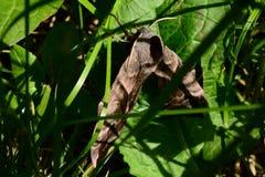 O ocellatus do smerinthus da borboleta move-se nas folhas da grama Fotografia de Stock Royalty Free