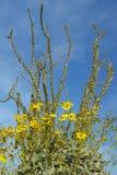 O Ocotillo floresce no deserto na mola na garganta do chacal, parque estadual do deserto de Anza-Borrego, perto de Anza Borrego S Fotografia de Stock