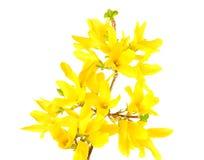 O Oleaceae da forsítia floresce as flores isoladas no fundo branco Fotos de Stock Royalty Free