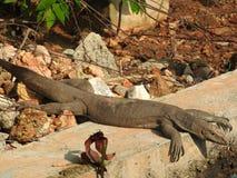 O olhar da iguana, aproximadamente, habitat natural de Sri Lanka foto de stock