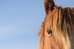 O olhar de um cavalo Fotografia de Stock