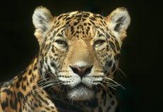 O olhar de um predador Imagem de Stock Royalty Free