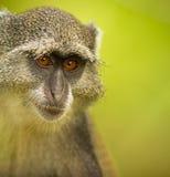 O olhar do macaco azul Fotografia de Stock