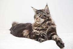O olhar do vstorinu bonito do gato de Maine Coon em um fundo branco Fotografia de Stock Royalty Free