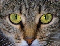 O olhar fixo do gato Fotografia de Stock