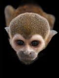 O olhar fixo do macaco curioso Imagens de Stock Royalty Free