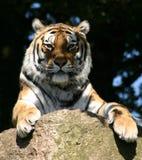 O olhar fixo eyed frio do ` s do tigre Fotografia de Stock Royalty Free