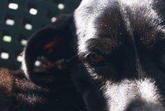 O olhar intenso no foco próximo do cão preto chamou o lupita fotografia de stock royalty free