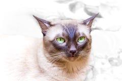 O olhar piercing deste membro da família do selvagem enorme gato-está Foto de Stock