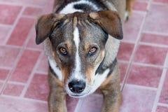 O olho da cara do cão vê Foto de Stock