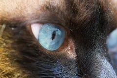 O olho de Coty fotografia de stock royalty free