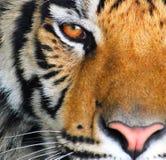 O olho de um tigre fotografia de stock royalty free