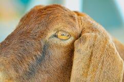 O olho de uma cabra Foto de Stock Royalty Free