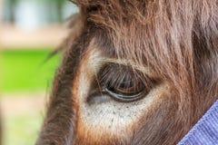 O olho do asno Imagem de Stock