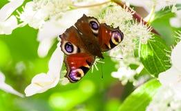 O olho do pavão da borboleta senta-se em um arbusto da hortênsia Imagem de Stock Royalty Free