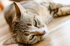 O olho grande de um gato Fotografia de Stock Royalty Free