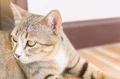 O olho grande de um gato Fotografia de Stock