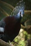 Victoria coroou o pombo Foto de Stock Royalty Free
